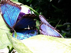 Bornholm Butterfly Park - Image: Morpho peleides, Bornholms Sommerfuglepark 35
