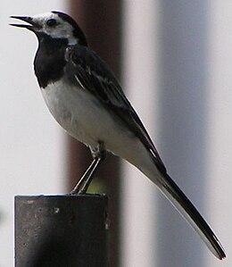 Burung Pipit Pelanduk - Wikipedia Bahasa Melayu, ensikl