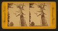 Mother of the Forest, Mariposa Grove, California, from Robert N. Dennis collection of stereoscopic views 2.png
