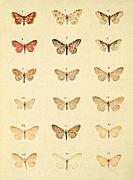 Moths of the British Isles Series2 Plate045.jpg
