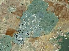Muffe sulla superficie d'una soluzione di amido, la maggior parte delle muffe sono rappresentanti degli Ascomycota. Tra i generi più noti Aspergillus e Penicillium