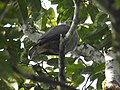 Mountain Imperial Pigeon DSCN0139 01.jpg
