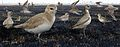 Mountain Plover From The Crossley ID Guide Eastern Birds.jpg