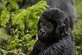 Mountain gorilla (Gorilla beringei beringei) 08.jpg
