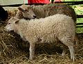 Mouton d'Ouessant 180508 4.jpg