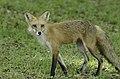 Mr Fox (33623245).jpeg