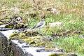 Muscisaxicola alpinus alpinus in Ecuador.jpeg