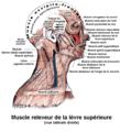 Muscle elevateur de la levre superieure.png