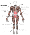 Muscles anterior labeled-ar.png