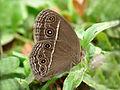 Mycalesis 1 by Kadavoor.jpg