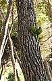 Myiopsitta monachus -Balearic Islands -Spain-8.jpg