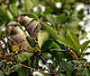 Two birds sitting on a tree branch with light breasts, green feathers on the side and back, and thick short beaks