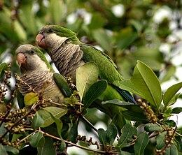 Myiopsitta monachus -Florida -two in tree-8
