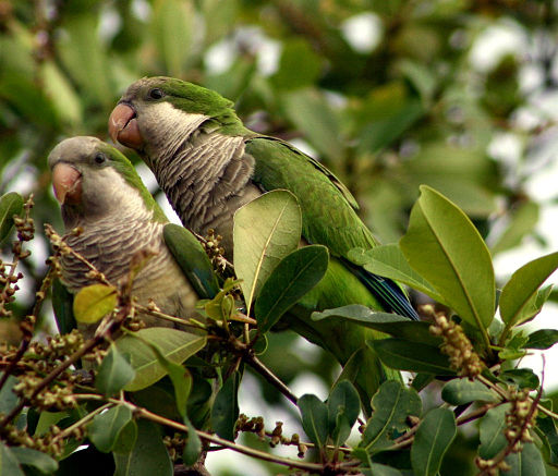 Myiopsitta monachus -Florida -two in tree-8