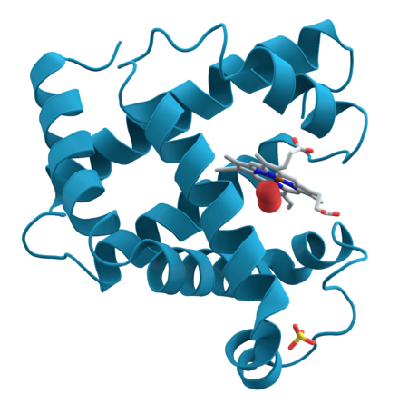 Proteins are chains of amino acids found in many nutritious foods. Pictured above is a computer rendering of myoglobin, a protein found in muscles. Myoglobin.png
