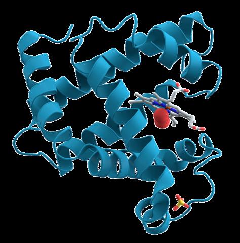 https://upload.wikimedia.org/wikipedia/commons/thumb/6/60/Myoglobin.png/474px-Myoglobin.png