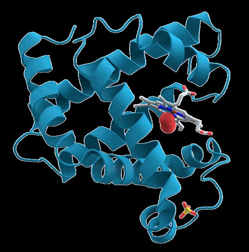 Representación de la proteína mioglobina