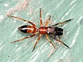 Myrmarachne formicaria 92685800.jpg