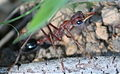 Myrmecia ngriceps side view 1687.jpg