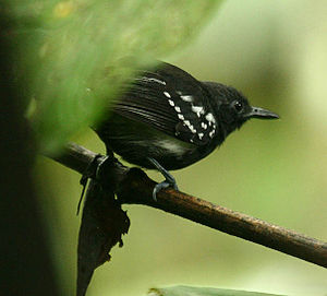 White-flanked antwren - Male in NW Ecuador