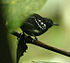 Myrmotherula axillaris -NW Ecuador-4.jpg
