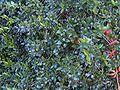 Myrtus communis9.jpg