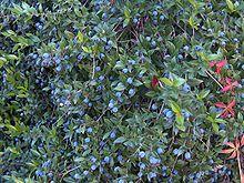 Myrte wikipedia for Myrte arbuste
