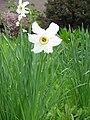 Narcissus poeticus 'Recurvus'02.jpg
