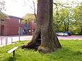 Naturdenkmal 3-2, Eiche vor dem neuen Rathaus, Bild 5.JPG