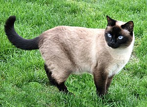 Colorpoint cat. Possibly Siamese