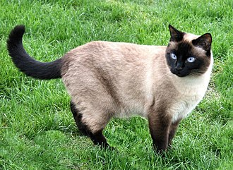 Point coloration - A Siamese cat with a seal point coloration.