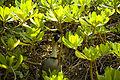 Nene Goose on Kauai.jpg