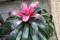 Neoregelia All Aglow 1zz.jpg
