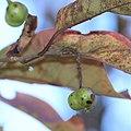 Neoshirakia japonica (fruits s11).jpg