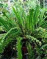 Nephrolepis exaltata subsp. hawaiiensis (5311112673).jpg