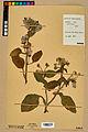 Neuchâtel Herbarium - Borago officinalis - NEU000020570.jpg