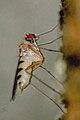 Neurigona.quadrifasciata8.-.lindsey.jpg