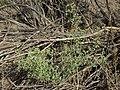 Nevada goosefoot, Chenopodium nevadense (16046978424).jpg