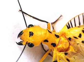 Dobsonfly - Image: Nevromus Austroindicus 4