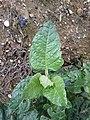 Nicotiana rustica sl4.jpg