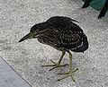 Night Heron juvenile Pengo.jpg