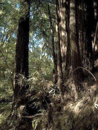 The Forest of Nisene Marks State Park - Redwood trees in the Forest of Nisene Marks