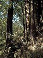 Nisene Marks redwood.jpg