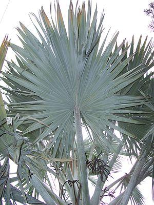 Fan palm - The typically palmately compound leaf of a fan palm.
