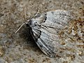 Nola cucullatella - Short-cloaked moth - Карликовый шелкопряд серо-бурый (43173448174).jpg