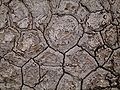 Nolina longifolia 01 ies.jpg