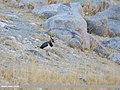 Northern Lapwing (Vanellus vanellus) (40921465343).jpg