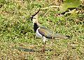 Northern Lapwing Vanellus vanellus Deepor Beel by Dr. Raju Kasambe 2 (3).jpg