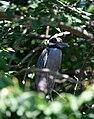 Nyctanassa violacea -Palo Verde National Park, Costa Rica - in tree-8.jpg