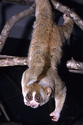 A Sunda slow loris hangs from a branch with two legs